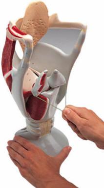 Human Larynx Models