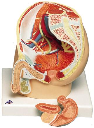 Sex male Model organ of